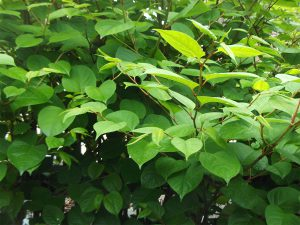 Japanese Knotweed Leaves