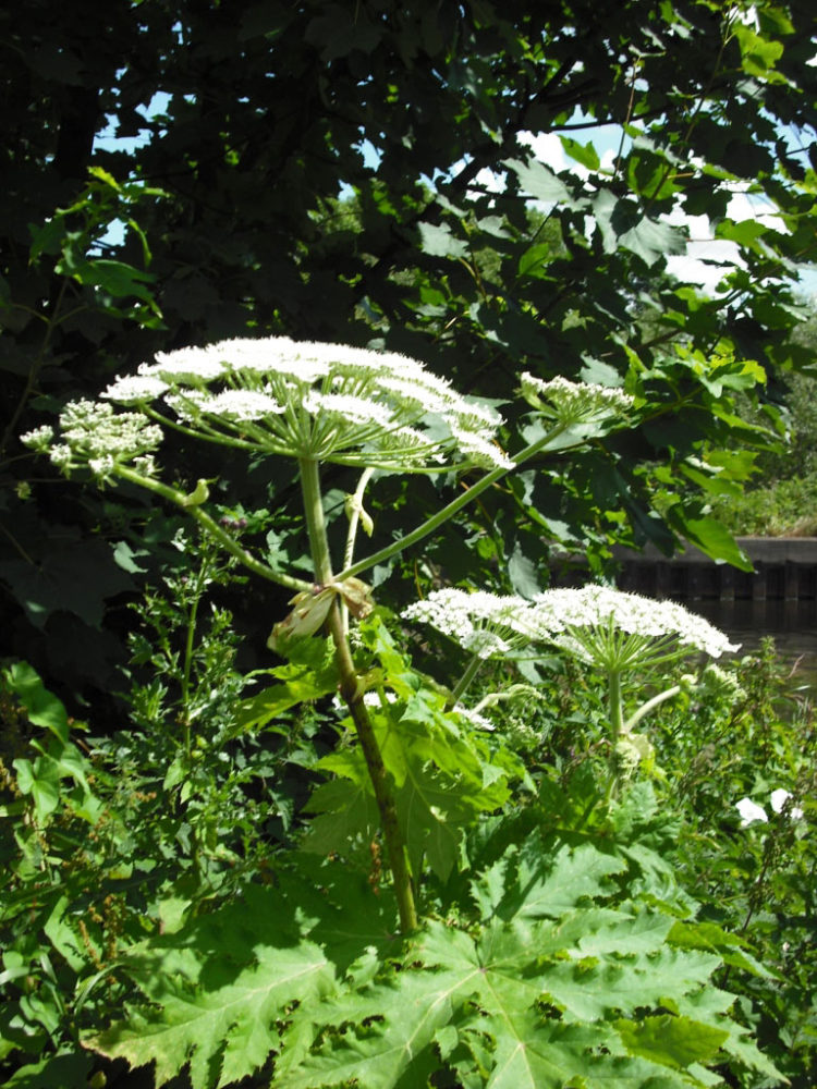 Warning over serious risk of burns and blisters from Giant Hogweed spreading in the heatwave