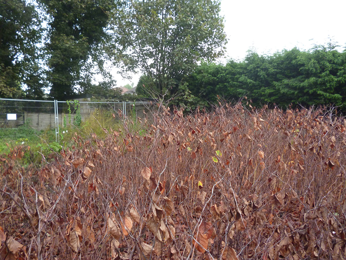 Tree Preservation Orders and Japanese Knotweed