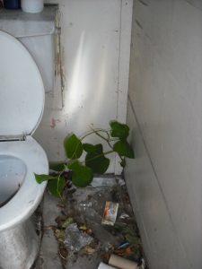Japanese Knotweed in Bathroom