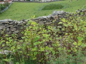 Japanese Knotweed in Spring