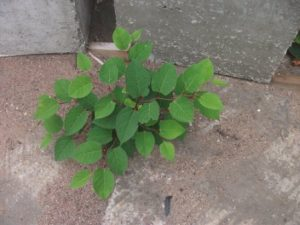 Japanese Knotweed Growing Through Concrete
