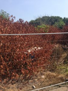Japanese Knotweed After Spray