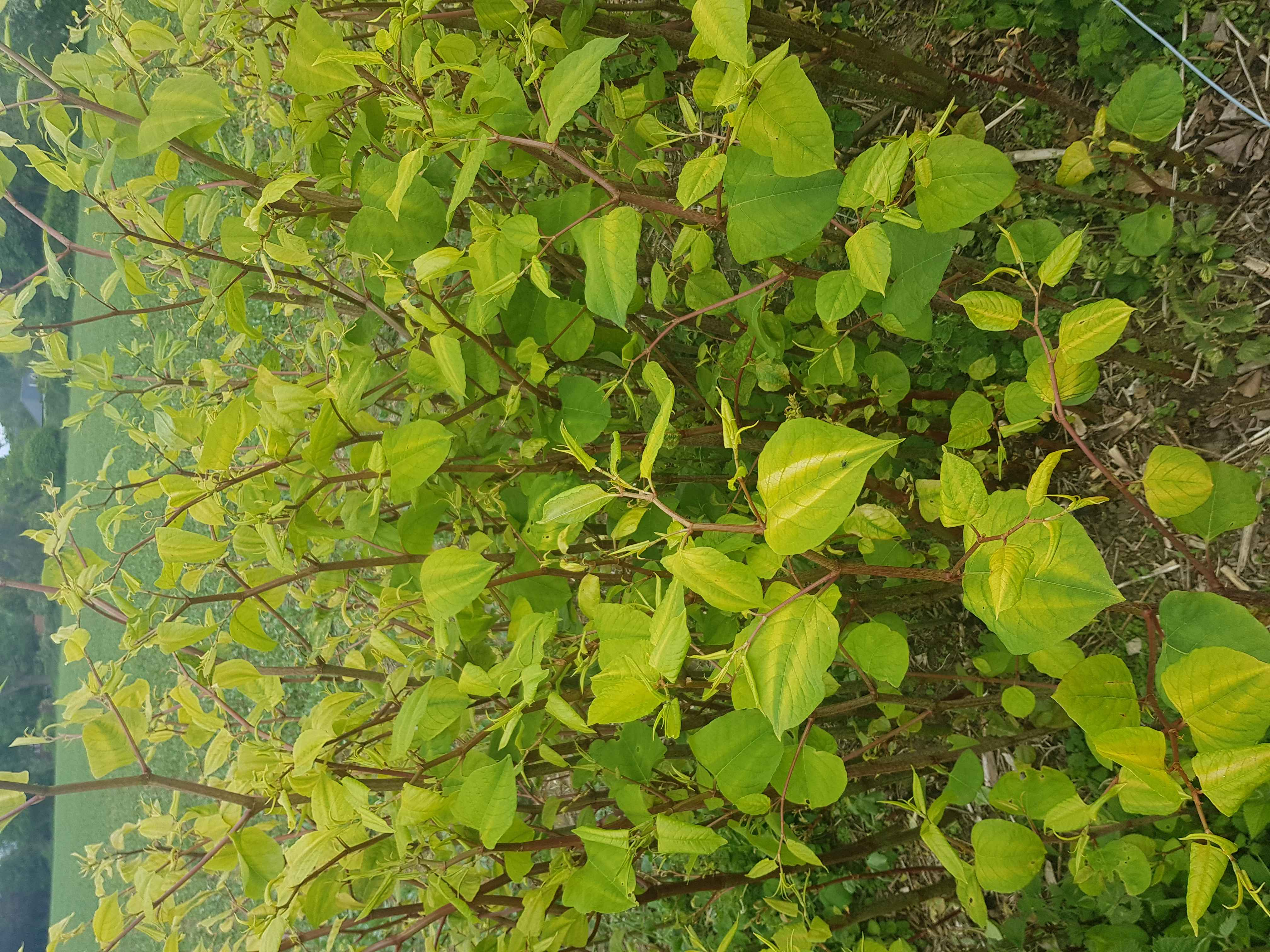 Japanese Knotweed in St Ives was preventing the owner from being able to sell their property.
